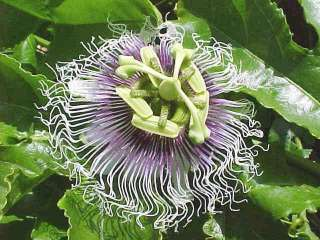 Purple PASSION FLOWER P. edulis FRUIT VINE 15 Seeds